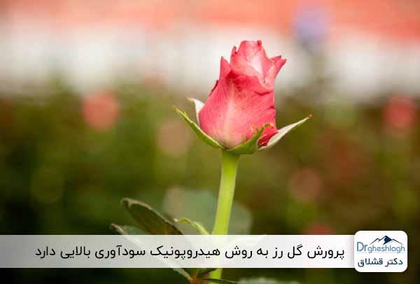 پرورش هیدروپونیک گل رز