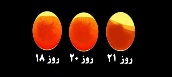 پس از یک هفته جوجه کشی در داخل تخم مرغ چه اتفاقی می افتد