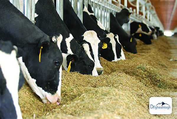 افزایش دفعات غذا دهی گاو - صنایع ماشین سازی دکتر قشلاق