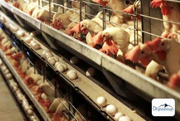 بهترین مرغ برای جوجه کشی - صنایع ماشین سازی دکتر قشلاق