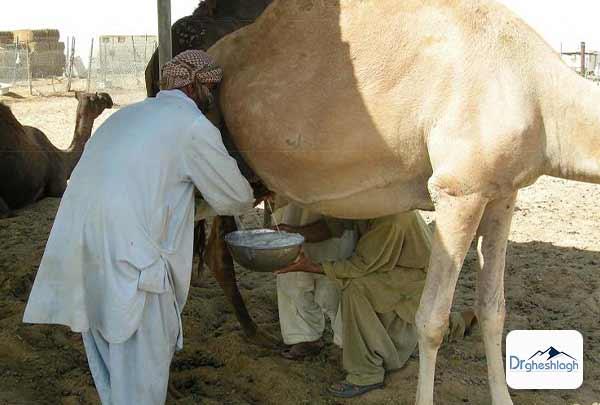 خواص شیر شتر برای سلامتی-دکتر قشلاق