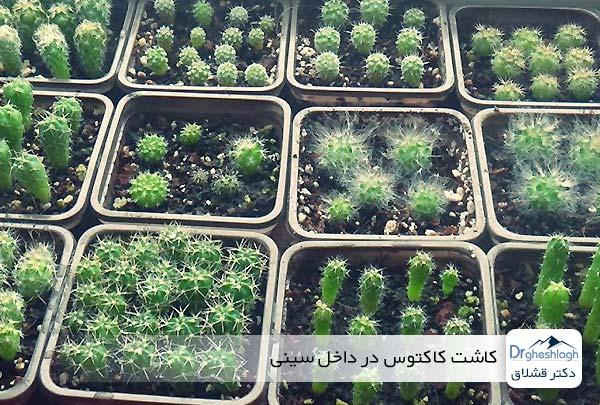 کاشت کاکتوس در داخل سینی - دکتر قشلاق