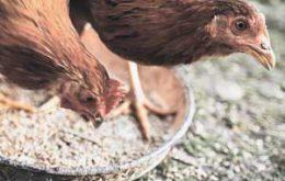 دستگاه جوجه کشی مخصوص مرغ کدام است
