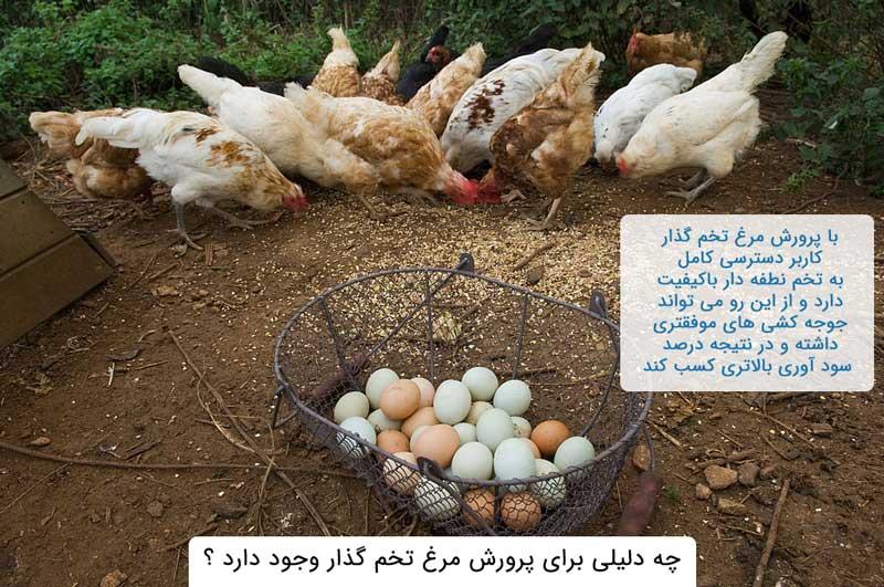 پرورش مرغ تخم گذار چه فایده ای دارد