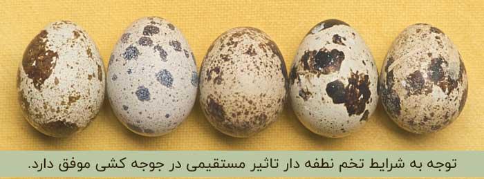 تخم نطفه دار بلدرچین مناسب برای جوجه کشی